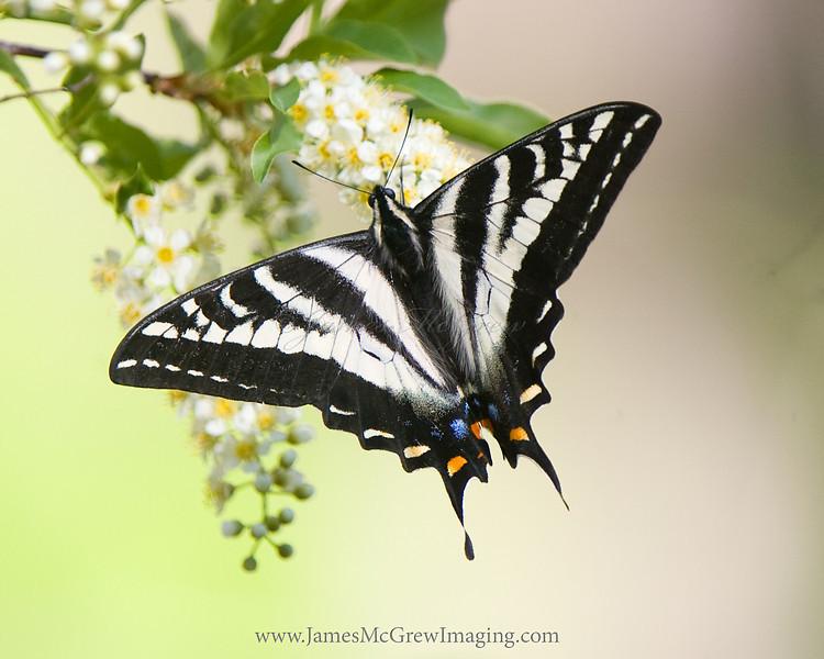 Pale Swallowtail Butterfly  near Bridalveil Creek.