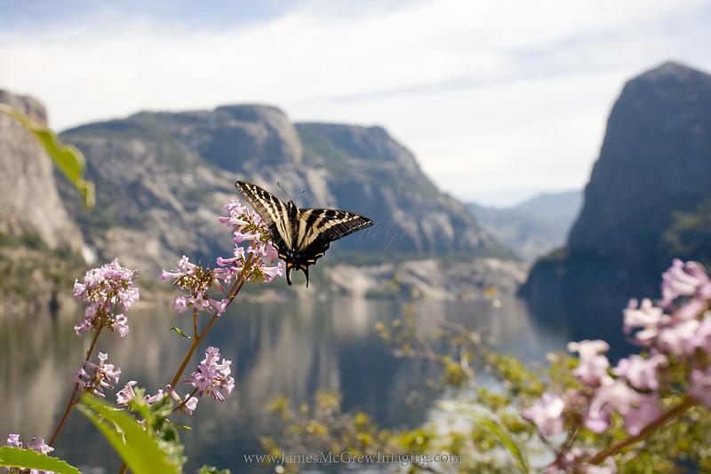Western Tiger Swallowtail (Papilio rutulus) on Yerba Santa in Hetch Hetchy Valley.  ©2012 James McGrew