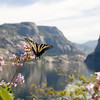 Western Tiger Swallowtail (Papilio rutulus) on Yerba Santa in Hetch Hetchy Valley.  ©2012 James McGrew