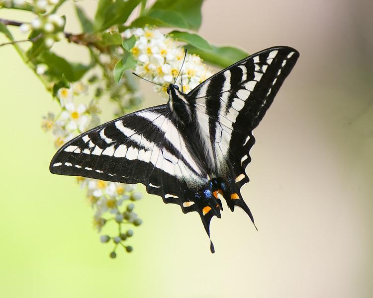 Pale Swallowtail (Papilio eurymedon) near Bridalveil creek.  ©2012 James McGrew