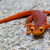 Sierra Newt in Hetch Hetchy.  Adorable and beautiful, the newts appear in profusion after a rain and early in the morning.  They can migrate for miles and return to their breeding grounds (apparently using the earth's magnetic field).  Their bright orange colors serve as a warning signal to predators.   In fact, the newt's skin secrets a deadly neurotoxin similar to that found in pufferfish.  The only animal known to eat these amphibians are certain types of garter snakes which are fairly immune to the toxins.  However, like most amphibians around the world, Sierra Newts appear to be declining in numbers.  While the causes of decline of many species of frog and toad are well documented, the newts remain poorly studied by comparison.  Copyright © 2008 James McGrew.