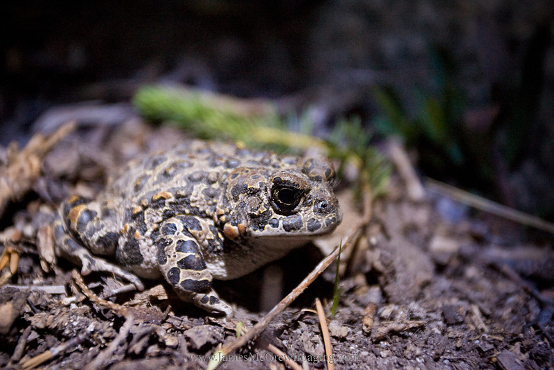 Yosemite Toad, (Anaxyrus canorus) in the Young Lakes basin.  The Yosemite Toad is a Federal Candidate species and a California Species of Special Concern.  <br /> <br /> ©2005, James McGrew<br /> File number:  LM2U0058 copy