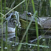 Amorous Bullfrogs (Lithobates catesbeiana) in Woski Pond.   The Bullfrog is not native to Yosemite.   They are voracious predators that will eat anything they can get their mouths around including birds, amphibians, reptiles, small mammals, and are implicated in the decline or local extinction of the California Red-legged frog and the Western Pond turtle.  As a result, park biologists work to remove the bullfrog from Yosemite's warm water ponds.