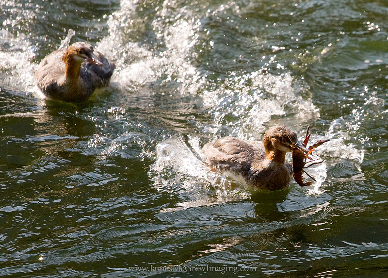 Mergansers fighting over a large crayfish in the Merced River, Yosemite Valley.  Copyright, James McGrew  ©2011.<br /> <br /> As I worked on a commissioned painting of half dome, I found a private location on the Merced River.  During my painting session, numerous wild animals went on with their usual routines and managed to get surprisingly close, apparently unconcerned of my presence because I was relatively stationary as I stood at my painting.  Most entertaining were these mergansers who hunted for crayfish.  Every so often one of them would emerge with a crayfish in its mouth and immediately run away, hotly pursued by the other.