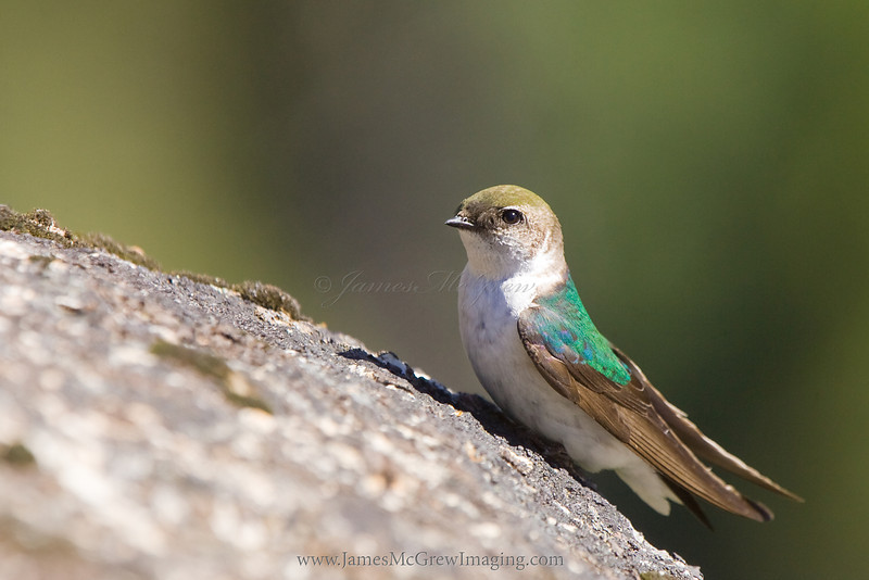 Female Violet-green Swallow in Yosemite Valley.  ©2012 James McGrew<br /> I've always loved swallows for their beauty and acrobatics while pursuing insects in the air (and of course for migrating while apparently carrying coconuts which we use for making horse-hoof sounds).  However, I've never been so close to one that perched.  I was painting sunrise near Tunnelview and as the air warmed and insects began flying, so did the swallows and swifts.   At one point this individual seemed curious about me, standing alone for a couple hours in the same location on the rocks above the swallows' nests.  She flew up to this rock as if to check me out for a moment.  I had a Canon 400 f4 DO on my 1DmkII, ready to capture fast moving wildlife at any moment.  I discretely picked up the camera lying at my feet and snapped a few quick frames before this bird zipped off to capture more insects.
