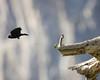 Red winged black bird takes flight.  ©2012 James McGrew