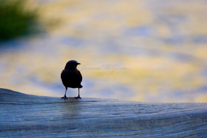 Brewer's Black Bird on the Merced River.  ©2012 James McGrew