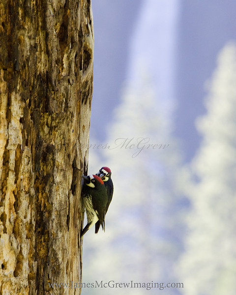 Acorn woodpeckers squabble on an old snag in Cook's Meadow (Yosemite Falls in the background).   One bird kept pecking on the back of the other bird's head as they fought over grubs in the tree.   ©2012, James McGrew