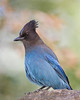 Steller's Jay  ©2012 James McGrew  I sat down on some rocks to paint a view of Upper Yosemite Falls when this Steller's Jay flew nearby foraging in the trees and momentarily perching on a rock as if to look over my shoulder and inspect the painting in progress.