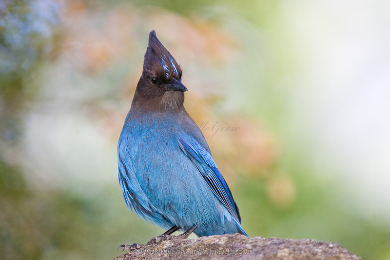 Steller's Jay perches on a rock and looks over my shoulder at the painting on which I worked depicting Upper Yosemite Fall.    ©2012, James McGrew<br /> <br /> Members of the Corvidae, these birds also share some remarkable intelligence of their larger black colored relatives, crows and ravens.  Steller's jays also exhibit beautiful plummage.  However, the blue is not really pigment (a molecule that absorbs certain wavelengths and reflects other wavelengths).  Instead the feathers refract blue wavelengths in certain directions.  This is why you can pick up a blue feather and it appears blue in one direction but as you rotate the feather, it may change from brown to dark gray.