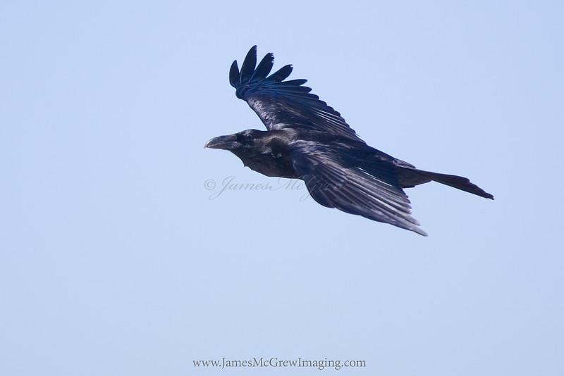 Common Raven soaring over Yosemite.  ©2012 James McGrew