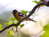 Black-headed grosbeak  (Pheucticus melanocephalus), male, on the Four Mile Trail.   ©2012 James McGrew