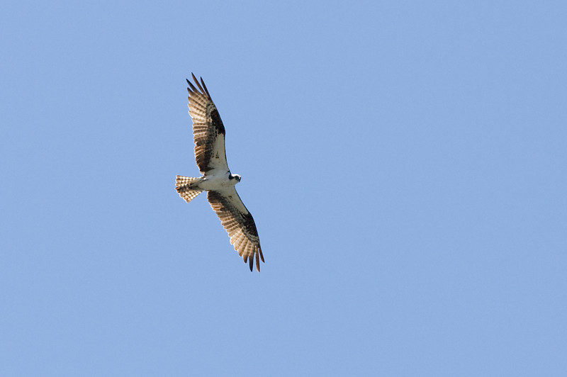Osprey hunting over a high mountain lake in the Yosemite wilderness.