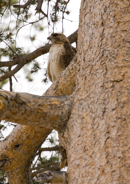 A well camouflaged Red Tailed Hawk in a Lodgepole Pine near Tenaya Lake in Yosemite National Park. Thanks to some noisy Steller's Jays, I started looking for a raptor in the nearby trees and spotted this beautiful bird. Copyright  ©2010 James McGrew