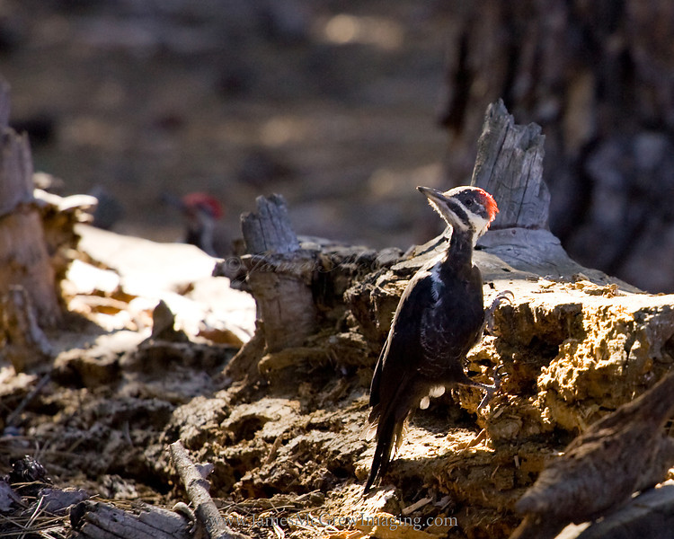 Pair of pileated woodpeckers on the Yosemite Valley Rim near Glacier Pt. ©2011, James McGrew<br /> <br /> File number: LM2U9693_1