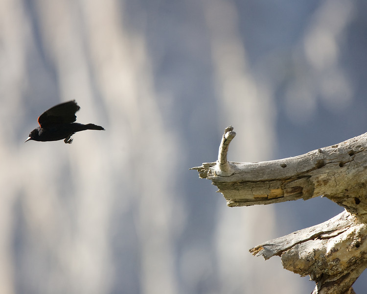 Red-winged Blackbird takes flight from a snag in Cook's Meadow.  ©2012, James McGrew