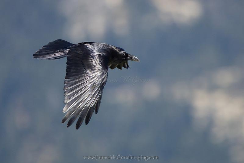 Common Raven over Yosemite.  ©2012 James McGrew