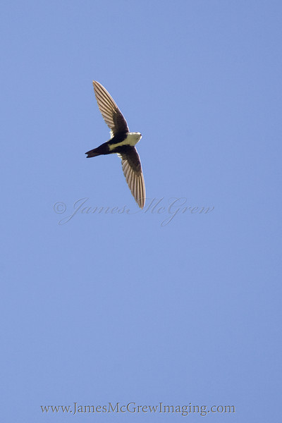 White-throated Swift in flight.  ©2012 James McGrew<br /> These little rockets are the most difficult birds I've tried to photograph in flight.  They zip through the air with amazing speed (and have reportedly outrun/maneuvered Peregrine Falcons), chasing insects and playing with each other while rapidly changing direction and speed.  I shot this with a Canon 400mm f4 DO and 1DmkII.  I don't know that I could have captured it with many other combinations.