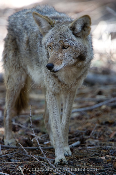 An old Coyote near the rim of Yosemite Valley.  ©2012 James McGrew