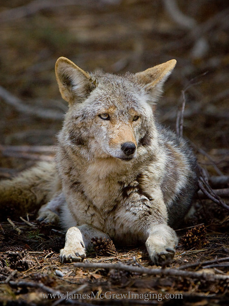 Coyote Rests near Glacier Pt.