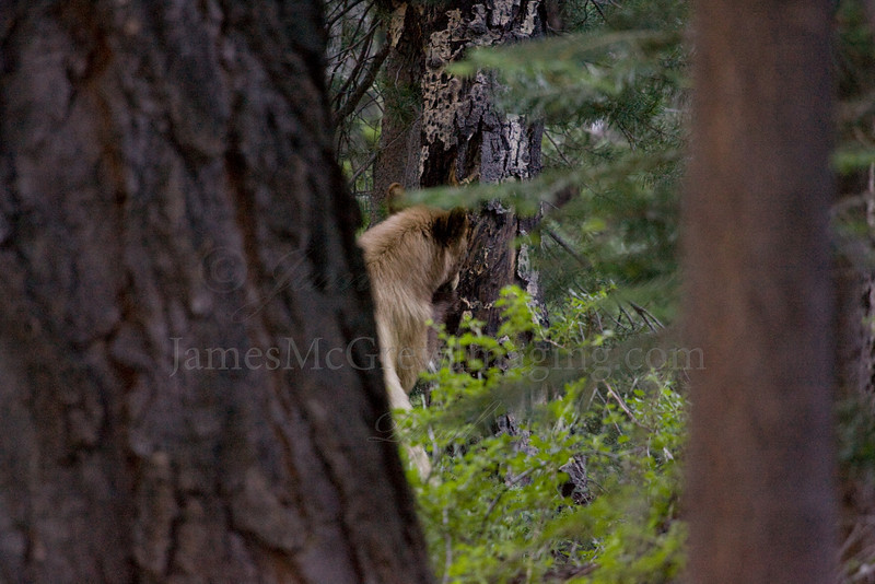 In search of carpenter ants and grubs, a young American Black Bear ventures out at dusk, stripping bark from a dead aspen trunk near Merced Lake in Yosemite National Park.  Copyright ©2010 James McGrew