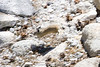 """Running out of Time""  ©2011, James McGrew<br /> <br /> A Pika races across boulders and cobbles near Olmstead Point.   Pikas are lagomorphs, members of the rabbit family, found at high elevation rocky/talus areas in the Sierra.  Pikas are a species of interest for climatologists because they require cool summer temperatures and many scientists have speculated that with global warming, these animals may suffer a reduction in habitat and therefore extinction.   For further reading on the NPS Pikas in Peril project:<br /> <a href=""http://science.nature.nps.gov/im/units/ucbn/monitor/pika/pika_peril/index.cfm"">http://science.nature.nps.gov/im/units/ucbn/monitor/pika/pika_peril/index.cfm</a><br /> <br /> ©2011, James McGrew<br /> File number:  LM2U0017"