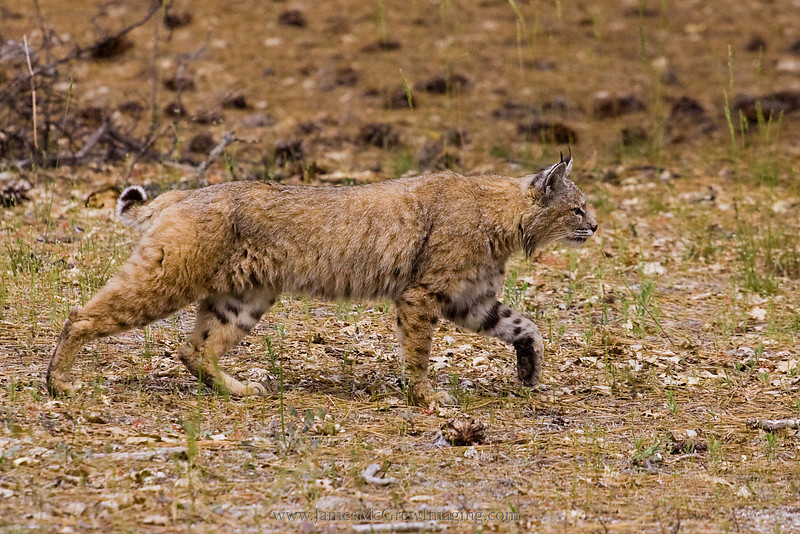 Bobcat in Yosemite Valley; illustrates its camouflage in its habitat.