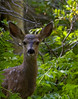 Mule Dear Fawn in Bracken Ferns.