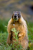 Yellow-bellied marmot caught eating the flowers and top leaves off the lupine in this lush subalpine riparian zone.