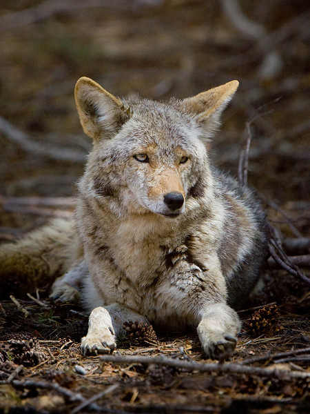 Coyote (Canis latrans) rests near Glacier Pt.  ©2012 James McGrew