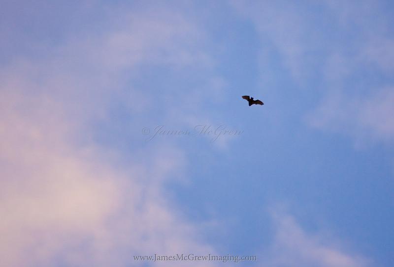 Bat Feeding at Sunset near Merced Lake.  ©2011, James McGrew