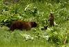 Mother black bear and two cubs feed in a meadow near Crane Flat.  These adorable cubs were born in a den during the winter and will spend the summer learning to forage and hunt with their mother.  <br /> ©2009, James McGrew<br /> <br /> Filename:  threebearsclone2 copy