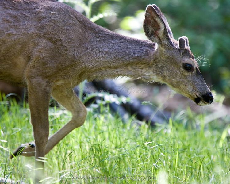 Young Mule Deer buck begins growing its new antlers for the season.