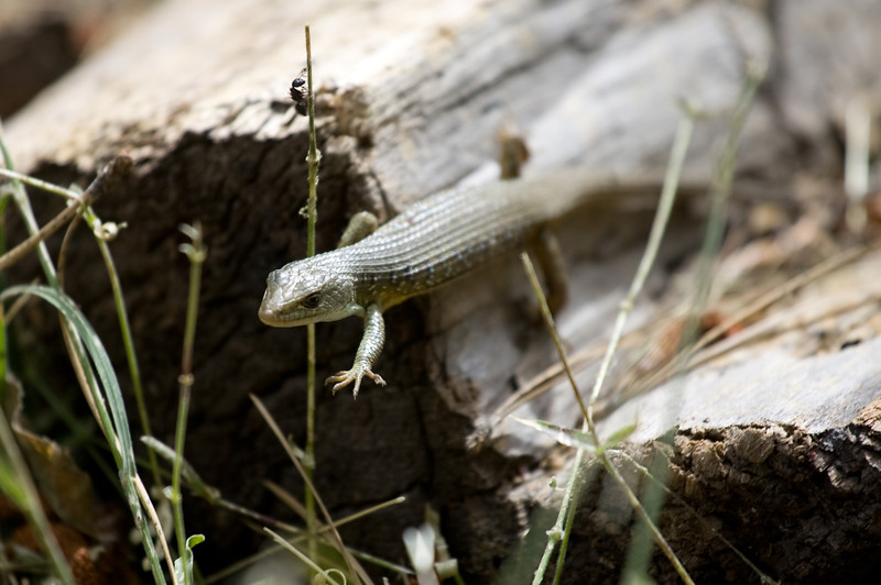 Alligator Lizard near Merced Lake.