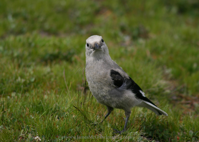 What are you lookin at?  A Clark's Nutcracker walks on the ground, harvesting pine seeds from seed caches of the previous year.  Copyright © 2004 James McGrew.