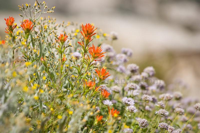 Late summer display of wildflowers in upper Tenaya Canyon.