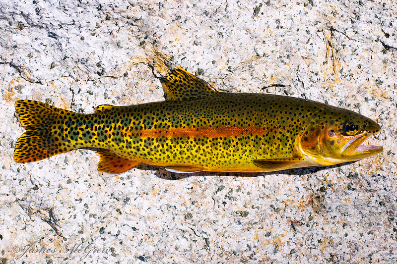 Rainbow/Golden trout.  Although I take a few hundred Eastern brook trout from Yosemite's waters every summer in effort to help the native frogs (and for food), I very rarely fish for or kill goldens and when I do, I always take time for a special photograph.  They are truly beautiful even if they are not native and unfortunately impact the native ecosystem.  Copyright © 2008 James McGrew.