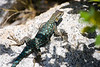 Western Fence Lizard near Merced Lake. ©2011, James McGrew