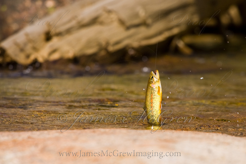 Golden Trout on a tied fly.