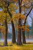 California Black Oaks in El Capitan Meadow.  Copyright, ©2005  James McGrew