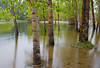 Flooded Cottonwoods Along the Merced.  ©2011 James McGrew.<br /> <br /> Limited Editions available: