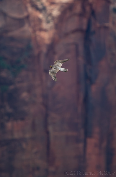 Adult Peregrine Falcon Soaring Quickly Over Zion Canyon, July 2018