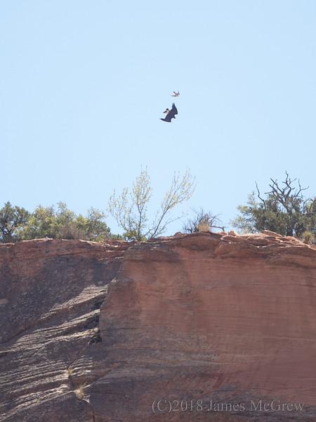 Adult Peregrine Falcon Attacks a Golden Eagle in Territory Defense Above the Zion  Mt. Carmel Tunnel.