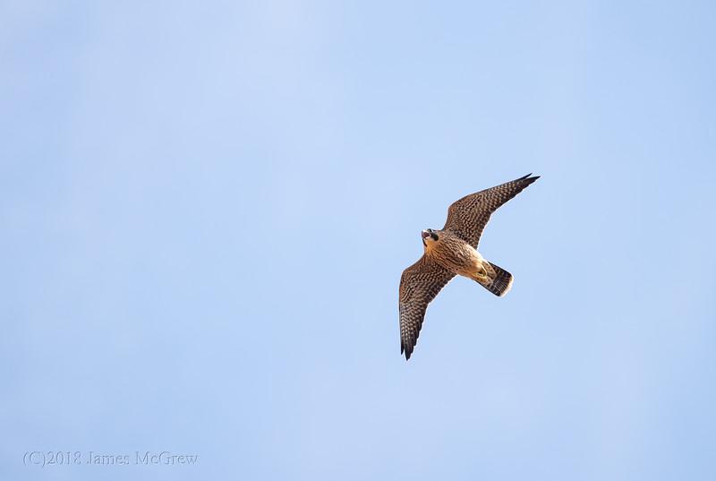 Juvenile Peregrine Falcon Over Angel's Landing