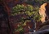 Pinyon Pine at Canyon Overlook