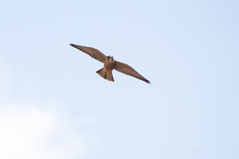 Incoming Juvenile Peregrine Falcon, Zion Canyon, July 2018.