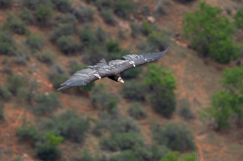 California Condor (#21) Soaring Over Zion Canyon, July 12, 2018.