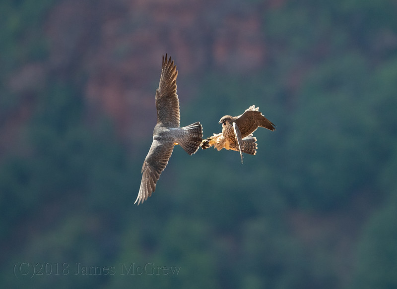 Adult Peregrine Falcon Hands off Pretty to Juvenile at Scout's Lookout, Zion