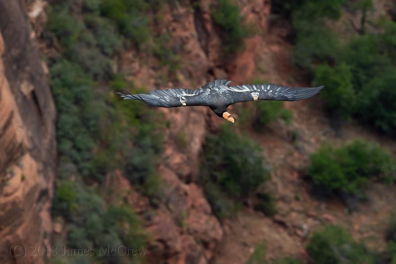 Adult California Condor (J3) Soaring Over Angel's Landing, July 12, 2018.