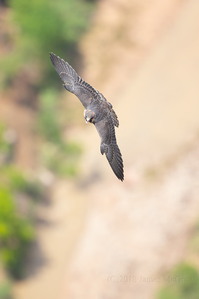 Juvenile Peregrine Falcon Shouting After Receiving a Meal From A Parent, July 12, 2018.